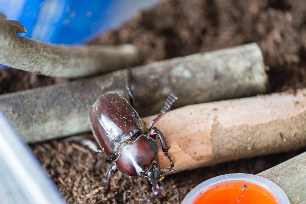 土の上にいるカブトムシ
